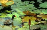 BIRDS - MOORHEN - KRUGER.jpg