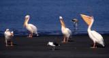 BIRDS - PELICAN - WHITE - NAMIBIA 6.jpg