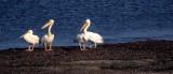 BIRDS - PELICAN - WHITE - NAMIBIA.jpg