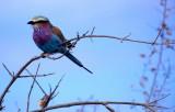 BIRDS - ROLLER - LILAC BREASTED - OKAVANGO d.jpg