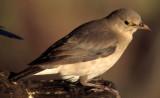 BIRDS - STARLING - WATTLED FEMALE - BOTSWANA.jpg
