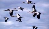 BIRDS - STORK - YELLOWBILLED - CHOBE B.jpg