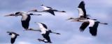 BIRDS - STORK - YELLOWBILLED - CHOBE D.jpg
