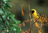 BIRDS - WEAVER - MASKED -UGANDA.jpg