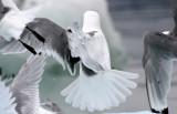 Birds of Svalbard