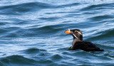 BIRD - AUKLET - RHINOCEROS AUKLET - SAN JUAN ISLANDS (5).jpg