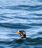 BIRD - AUKLET - RHINOCEROS AUKLET - SAN JUAN ISLANDS (7).jpg
