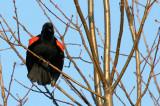 BIRD - BLACKBIRD - RED-WINGED BLACKBIRD - DANADA PRESERVE ILLINOIS (2).JPG