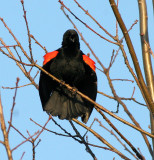 BIRD - BLACKBIRD - RED-WINGED BLACKBIRD - DANADA PRESERVE ILLINOIS (5).JPG