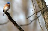 BIRD - BLUEBIRD - EASTERN BLUE BIRD - LINCOLN MARSH ILL (17).JPG