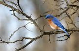 BIRD - BLUEBIRD - EASTERN BLUE BIRD - LINCOLN MARSH ILL (40).JPG