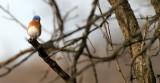 BIRD - BLUEBIRD - EASTERN BLUE BIRD - LINCOLN MARSH ILL (6).JPG