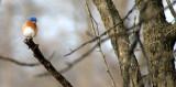 BIRD - BLUEBIRD - EASTERN BLUE BIRD - LINCOLN MARSH ILL (9).JPG