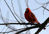 BIRD - CARDINAL - NORTHERN CARDINAL - NORTHERN CARDINAL - LINCOLN MARSH ILLINOIS (3).JPG