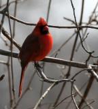 BIRD - CARDINAL - NORTHERN CARDINAL - PRATT'S WAYNE WOODS PRESERVE ILLINOIS (5).jpg