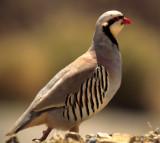 BIRD - CHUKAR - DEATH VALLEY D.jpg