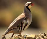 BIRD - CHUKAR-DEATH VALLEY NP 1.jpg