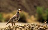 BIRD - CHUKAR-DEATH VALLEY NP.jpg