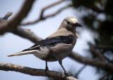 BIRD - CLARKS NUTSCACKER - CRATER LAKE OREGON B.jpg