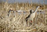 BIRD - CRANE - SANDHILL -KLAMMATH BASIN H.jpg
