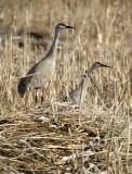 BIRD - CRANE - SANDHILL -KLAMMATH BASIN.jpg
