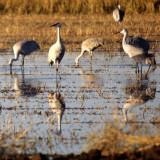 BIRD - CRANE - SANDHILL -SACRAMENTO VALLEY H1.jpg