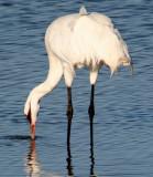 BIRD - CRANE - WHOOPING - TEXAS A (13).jpg