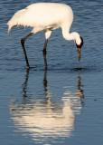 BIRD - CRANE - WHOOPING - TEXAS A (16).jpg