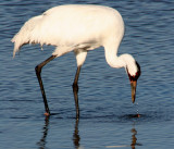 BIRD - CRANE - WHOOPING - TEXAS A (17).jpg