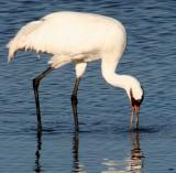 BIRD - CRANE - WHOOPING - TEXAS A (19).jpg