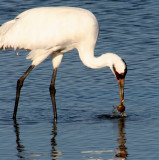 BIRD - CRANE - WHOOPING - TEXAS A (21).jpg