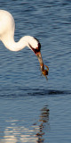 BIRD - CRANE - WHOOPING - TEXAS A (23).jpg
