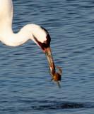BIRD - CRANE - WHOOPING - TEXAS A (24).jpg