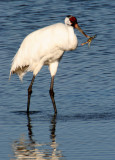 BIRD - CRANE - WHOOPING - TEXAS A (25).jpg