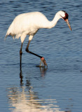 BIRD - CRANE - WHOOPING - TEXAS A (26).jpg