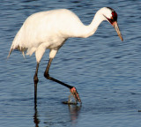 BIRD - CRANE - WHOOPING - TEXAS A (27).jpg