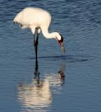 BIRD - CRANE - WHOOPING - TEXAS A (28).jpg