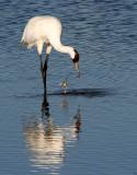 BIRD - CRANE - WHOOPING - TEXAS A (29).jpg
