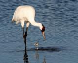 BIRD - CRANE - WHOOPING - TEXAS A (30).jpg