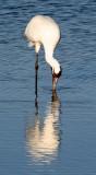 BIRD - CRANE - WHOOPING - TEXAS A (39).jpg