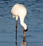 BIRD - CRANE - WHOOPING - TEXAS A (40).jpg