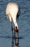 BIRD - CRANE - WHOOPING - TEXAS A (9).jpg