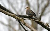 BIRD - DOVE - MOURNING DOVE - PRATT'S WAYNE WOODS ILLINOIS (3).JPG
