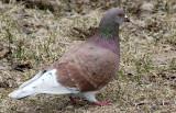 BIRD - DOVE - ROCK DOVE - MONTROSE PARK CHICAGO (5).JPG