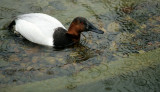BIRD - DUCK - CANVAS BACK - SAN DIEGO CALIF.jpg