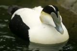 BIRD - DUCK - COMMON EIDER - SAN DIEGO B.jpg