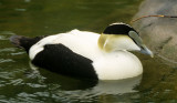 BIRD - DUCK - COMMON EIDER - SAN DIEGO C.jpg