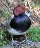 BIRD - DUCK - REDHEAD DUCK - AYTHYA AMERICANA - WOODLAND PARK.JPG