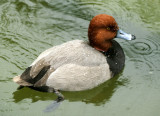 BIRD - DUCK - REDHEADED - SAN DIEGO CALIFORNIA.jpg
