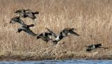 BIRD - DUCK - RING-NECKED DUCK - AYTHYA COLLARIS - SPRINGBROOK PRAIRIE ILLINOIS (21)a.jpg